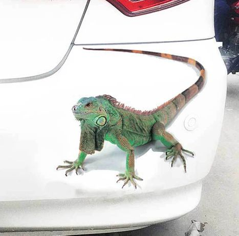 Naklejka 3D KAMELEON gekon JASZCZURKA na samochód