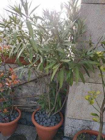 Planta loendro flor branca (arbusto usado nas autoestradas)