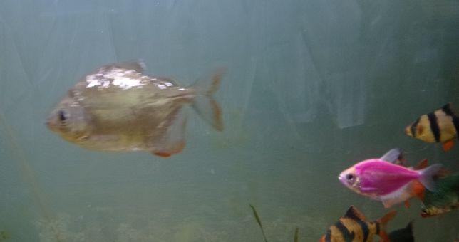 Риба Сріблястий Метиніс