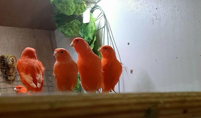 Czerwone i pomarańczowe kanarki