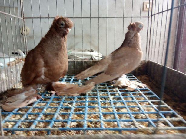 Sprzedam samca wywrotkow bialostockich 020r. Gołębie ozdobne.