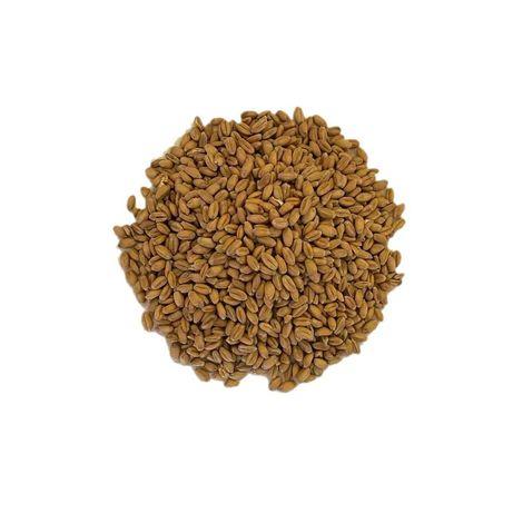 Pszenica Asory czyszczona pakowana w worki 25 kg