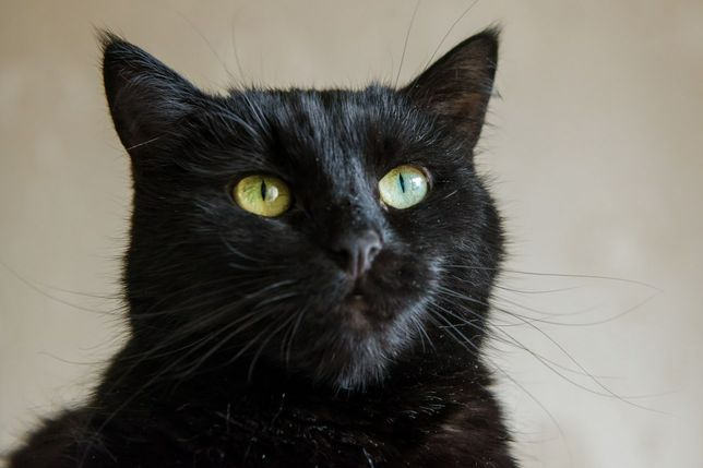 Красивый, шикарный черный кот. Около 2-х лет