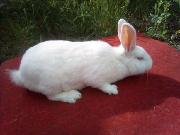 Продам кролики билий панон
