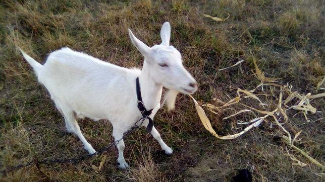 Продається коза безрога
