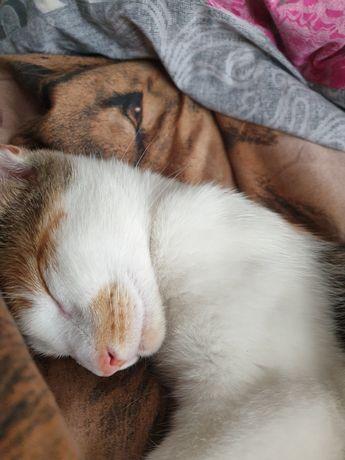 Zaginęła 3 letnia   kotka