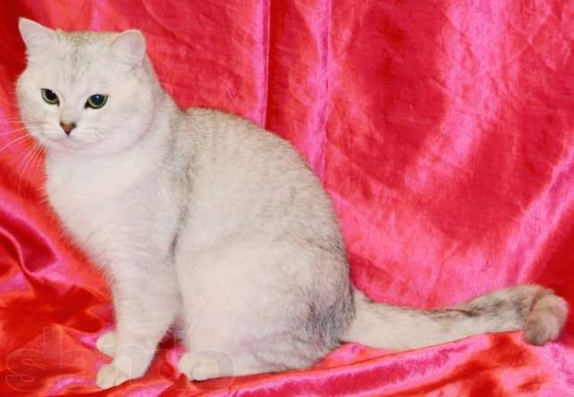 Вязка! Британский кот Шиншиллового окраса