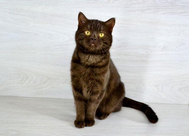 Шотландская кошечка шоколадка. Котята шотландские