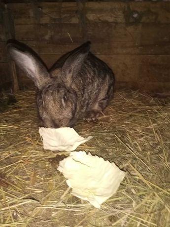 Sprzedam samicę królika