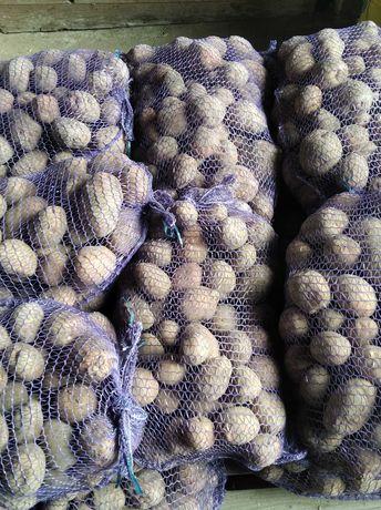 Ziemniaki 510.083.157