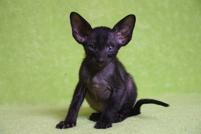 Kot Orientalny krótkowłosy- Black