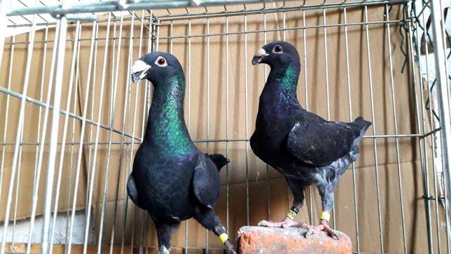 Gołębie z lotu. Niemieckie wystawowe garbinosy. Para nr 6