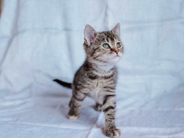 Котята. Отдам милого котенка девочку 2 мес, вакцинирована