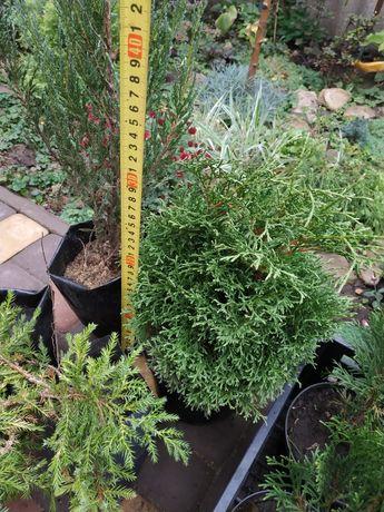 Хвойные растения, туя, кипарисовик, можжевельник