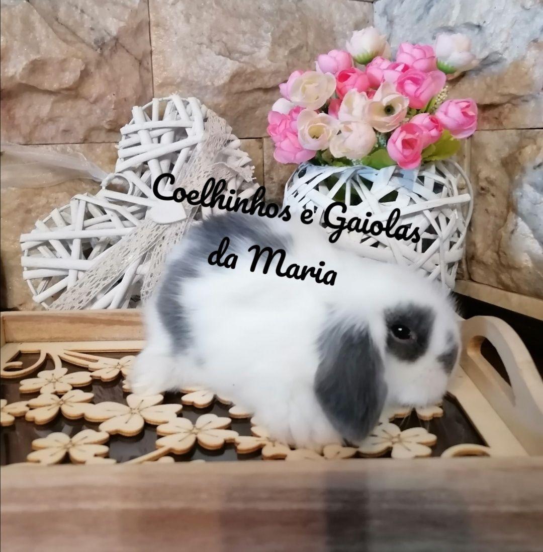 KIT Coelho Anão Mini Toy, Mini Holandêz, Tedy, Belier (Orelhudo)