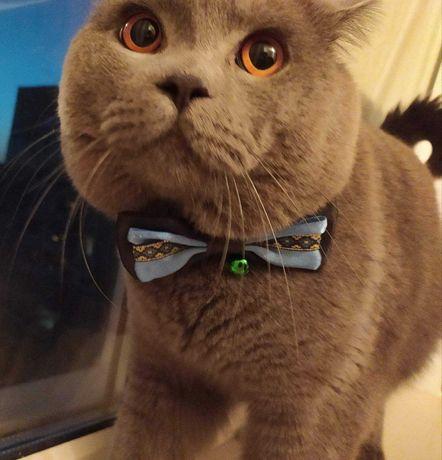 Вязка. Шотландский прямоухий кот