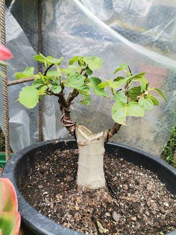"""Vendo Pré-Bonsai de """"Ficus Carica"""" (Figueira)"""