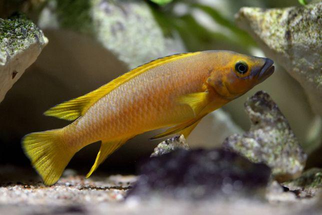 Neolamprologus leleupi, szczelinowiec, Tanganika