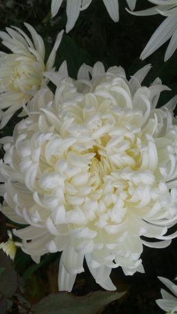 Хризантеми великоквіткові на зріз