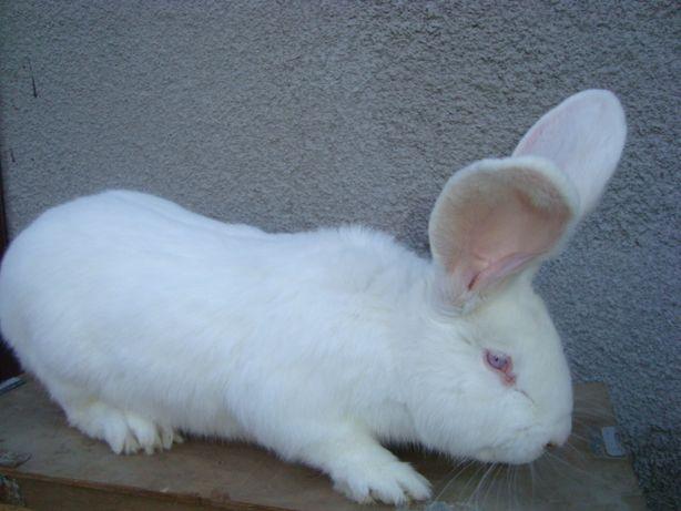 królik samica biała belg olbrzym 18 miesięczna