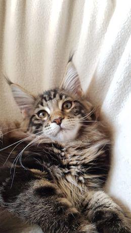 Кошечка Мейн-Кун n23