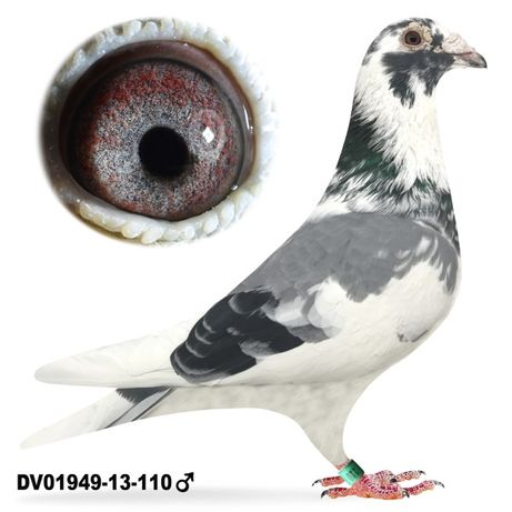 Młode 2021 Para nr 9 Soontjes x Wouters gołąb gołębie pocztowe do lotu