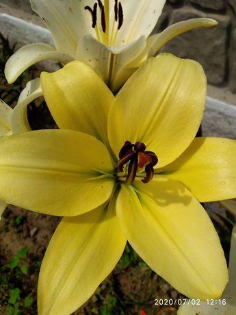 Лілія, лілейник, троянди, хризантеми та інші