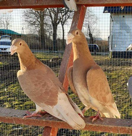 Rzeszowskie żółte para lęgowa - gołębie pocztowe