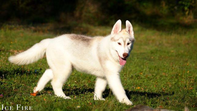 Wybitnie obiecujące szczeniaczki Siberian Husky