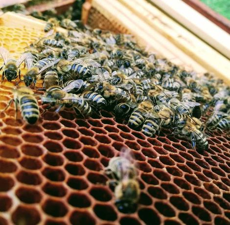 Znalezione roje pszczele, rójka
