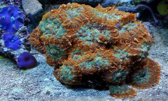 Rhodactis pomarańczowo zielony fluo