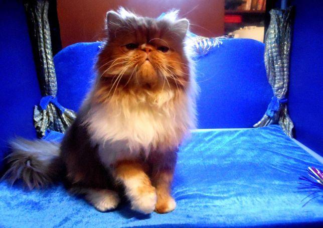 Шикарный яркий персидский кот приглашает на вязку