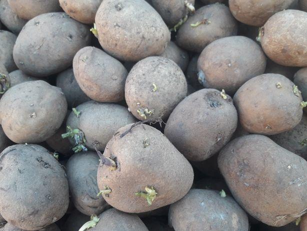 Ziemniaki jadalne wielkość sadzeniaka jak sadzeniaki wineta denar