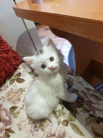 Білі пухнасті кошенята