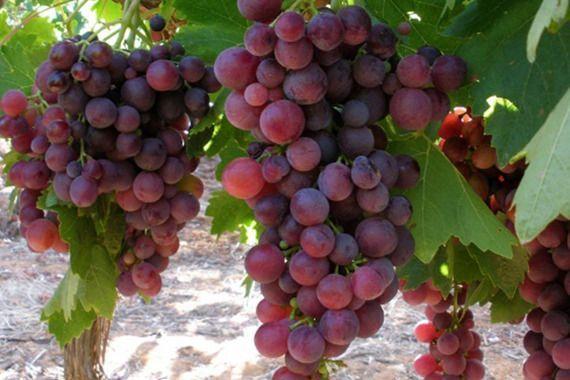 OWOC brązowego winogrona RED SVENSON aroniowe