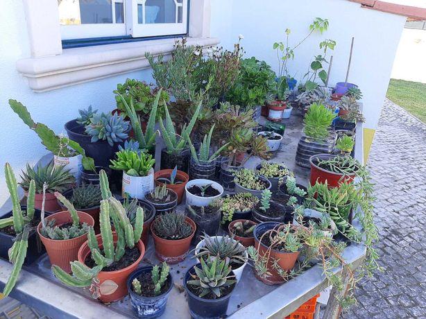 Plantas decorativas, suculentas, Physalis, Aloé vera