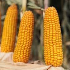 Kukurydza Popis Hr Smolice 50 tys nasion Fao 270