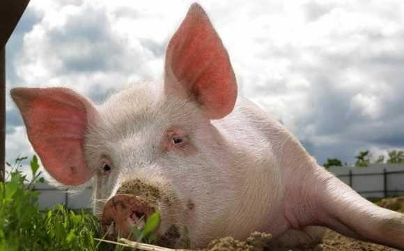 Комбікорм для свиней