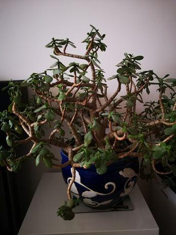 Drzewko szczęścia duży okaz kwiatek kwiat doniczkowy grubosz
