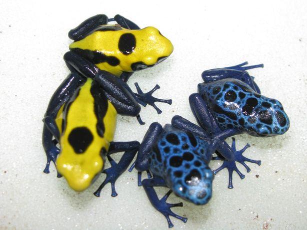 Яркие лягушки древолазы. Dendrobates tinctorius.