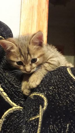 Кошечка Ася, котенок