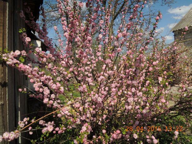 Саженцы и цветы_Куст-дерево_Луизеания розовая
