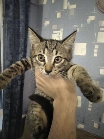 Котята помесь серой русской и сибирского кота, с кормом