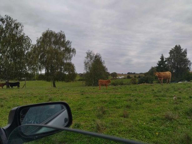 Bydło szkockie, krowa i jałóweczka