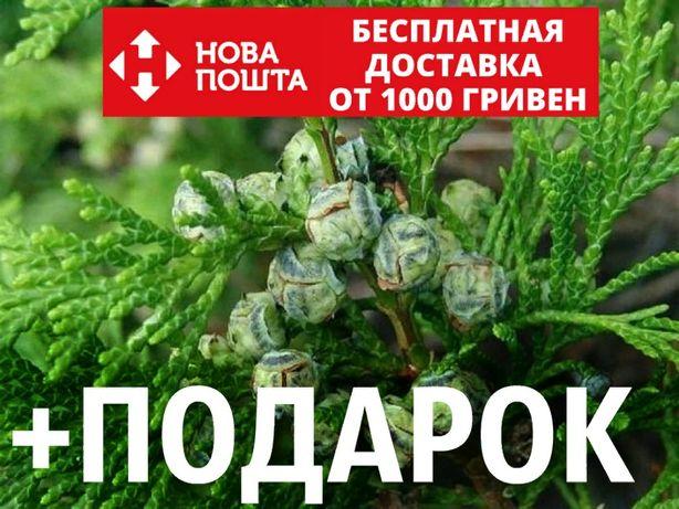 Кипарисовик горохоплодный семена (50 шт) Chamaecýparis pisífera