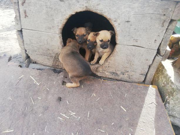 Psy pieski małe kundelki oddam