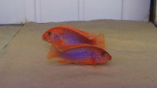 Iodotropheus Sprengerae Makokola Reef