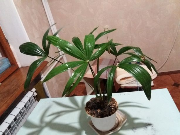 Продам пальму крымскую