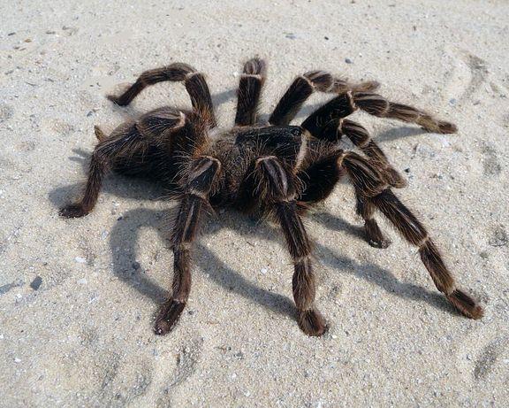 Lasiodora parahybana малыш паука птицееда для новичков