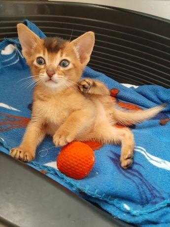 Абиссинские котята питомник Amoruccio